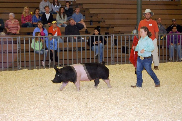 Some of Our Show Pigs in the Ring During 2012