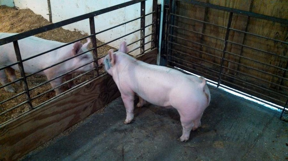 Show Pigs for Sale 05