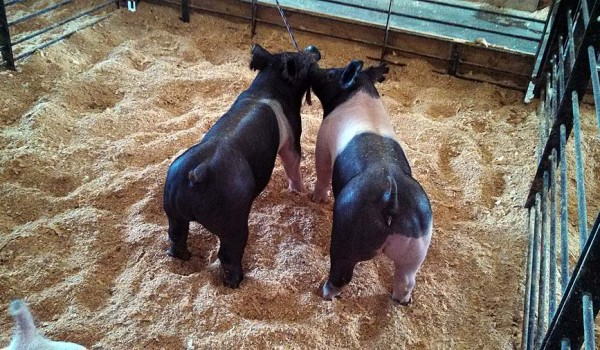 A Sampling of the Show Pigs Offered at our 2nd Annual Summer Pig Sale – June 28, 2014