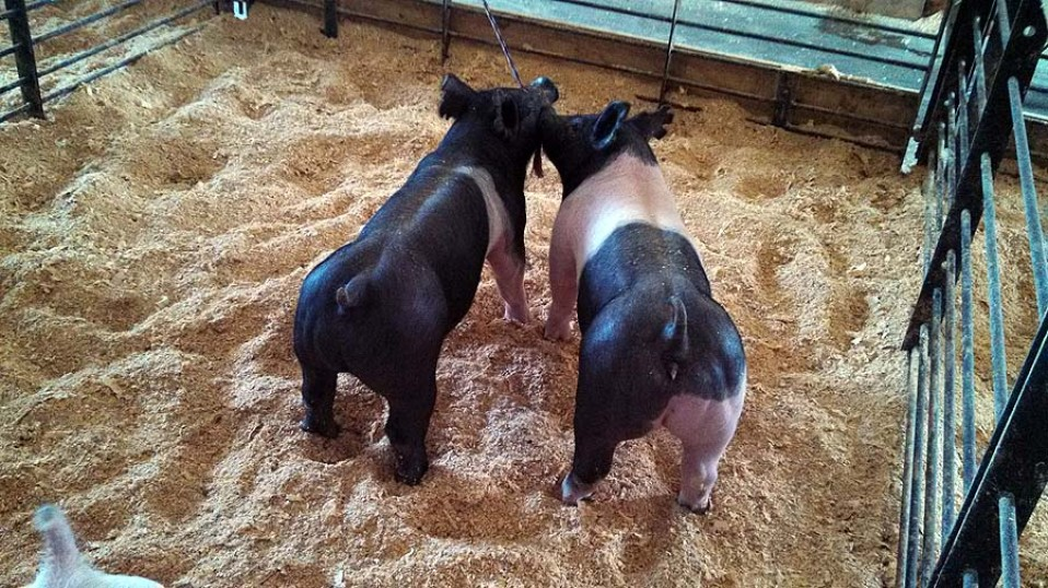 A Sampling of the Show Pigs Offered at our 2nd Annual Summer Pig Sale –June 28, 2014