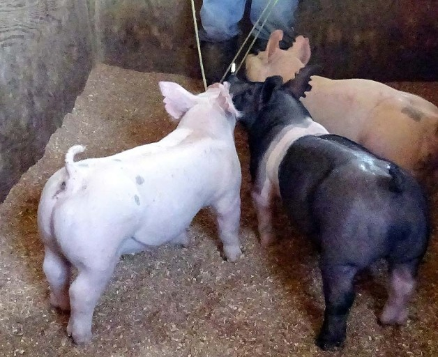 Show Pigs for Sale – June, 2017
