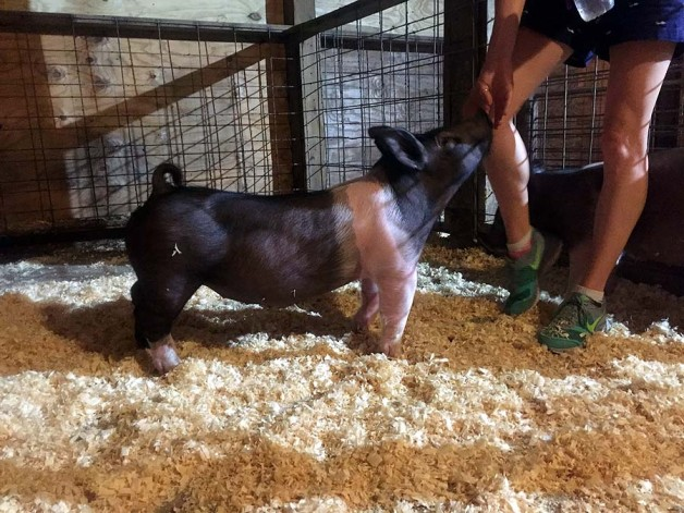 North Carolina Born and Bred Pigs for Sale for June 2017
