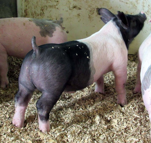 Show Pigs for Sale – June, 2018
