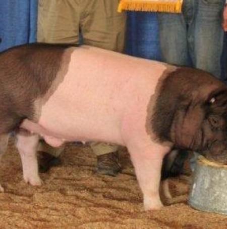 2011 Reserve Champion Market Hog Virginia State Fair