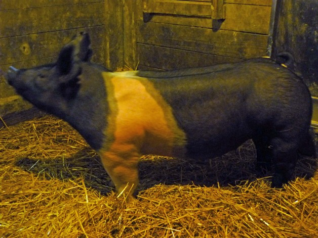 Pigs for Sales #4