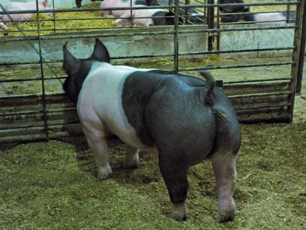 Pigs for Sale #11