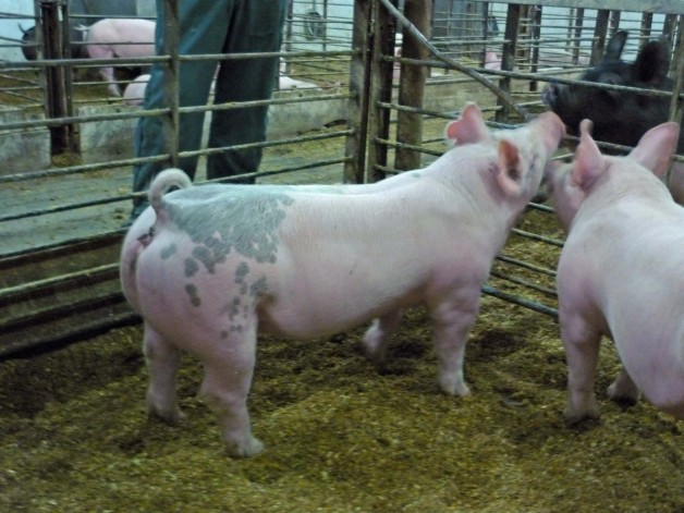 Pigs for Sale #13