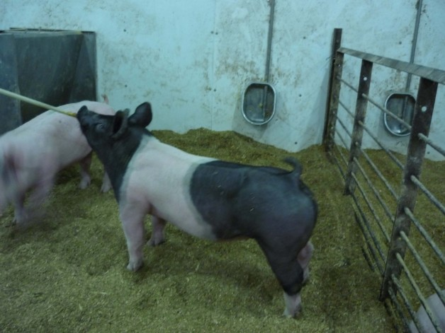 Pigs for Sale #20