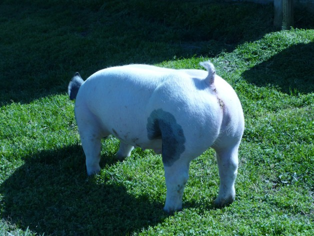 Pigs for Sale 031112-3