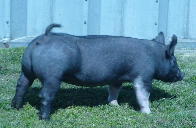 Pigs for Sale 031112-7