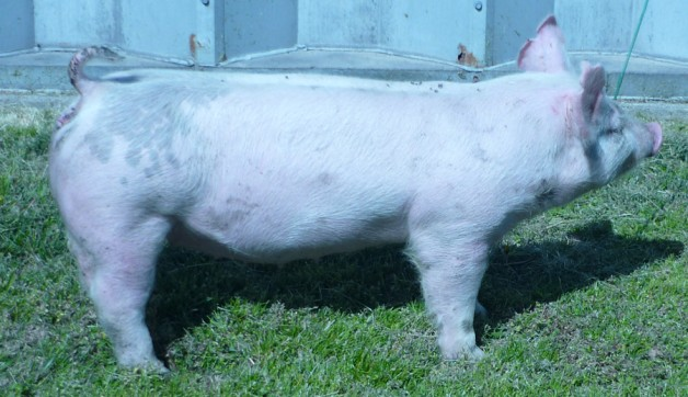 Pigs for Sale 031112-11