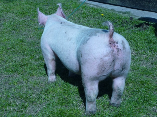 Pigs for Sale 031112-12