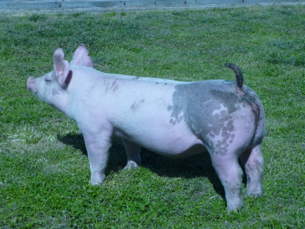 Pigs for Sale 031112-13